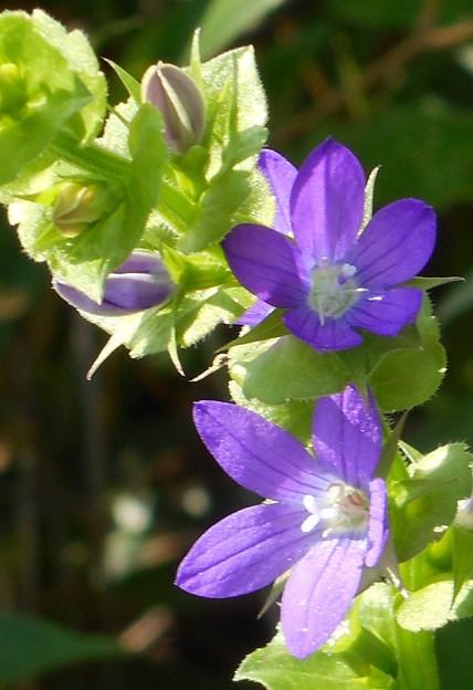 野に咲くキキョウソウの花@平木山の段々桔梗