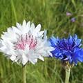 高原に咲く矢車草(ヤグルマソウ)の花