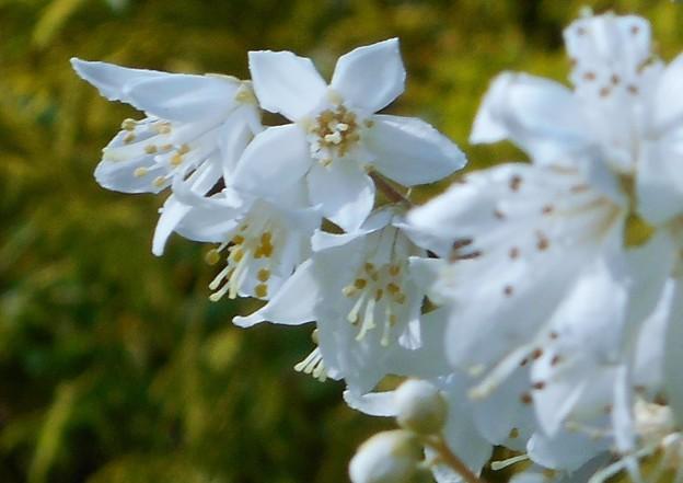 高原に咲く白い花@ウツギ