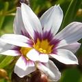 新緑に咲く ニワゼキショウの花