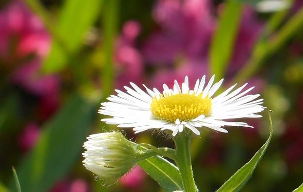高原に咲く春紫苑(ハルジオン)@平木山