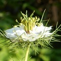 高原に咲くニゲラの花@クロタネソウ