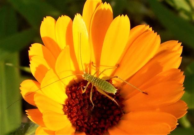 キバナコスモスとツユムシ幼虫