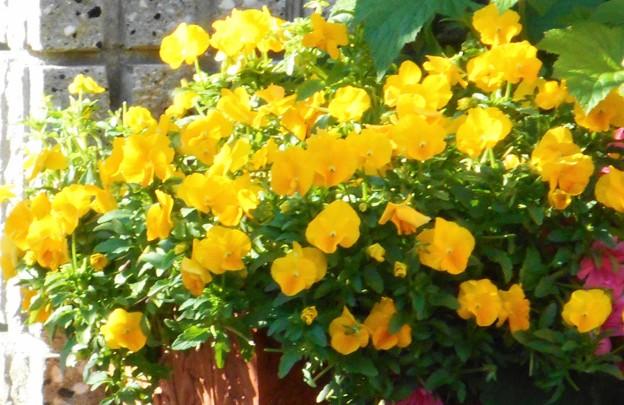 梅雨の中休みに元気に咲く@ガーデニングの花