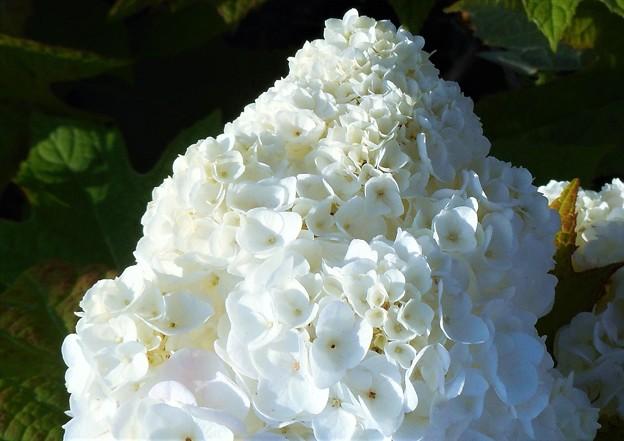 氷山の一角のような カシワバアジサイの花