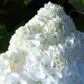 Photos: 氷山の一角のような カシワバアジサイの花
