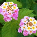 Photos: 梅雨空に咲く ランタナの花