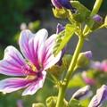 Photos: 梅雨の晴れ間の ゼニアオイの花
