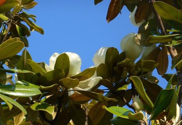見上げれば青空に タイサンボクの花