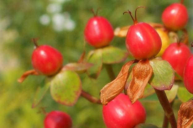 オトギリソウの赤い実