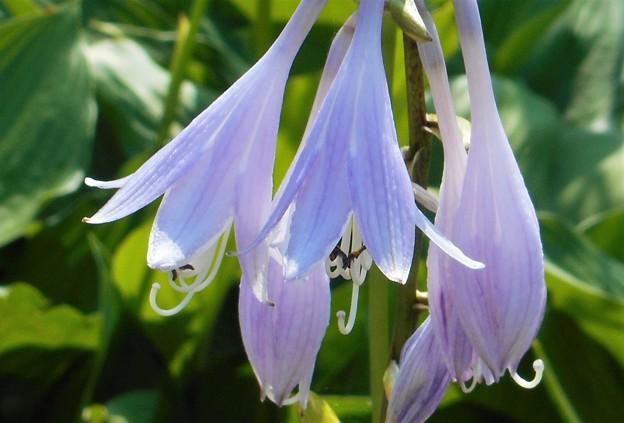 新緑に咲く@ギボウシ(ホスタ)の花
