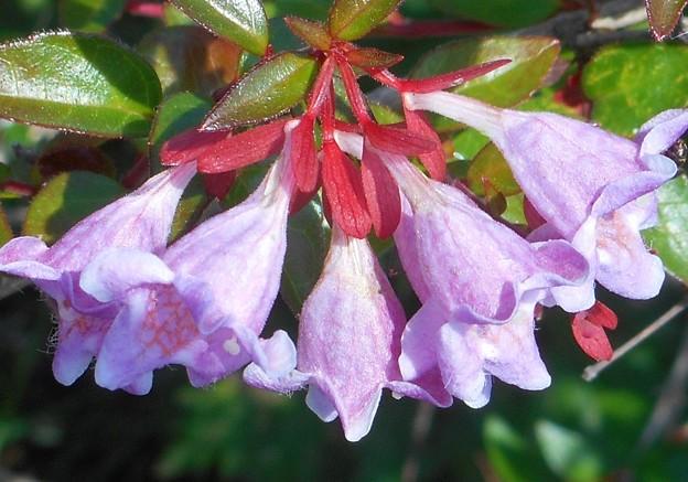 新緑に咲く@アベリアの花