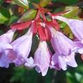 Photos: 新緑に咲く@アベリアの花