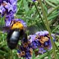 黒光りする熊蜂@ヘビー級のクマンバチとラベンダーの花
