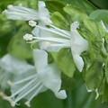 バジルの白い花@バジリコ@ハーブ