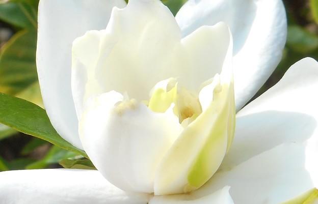 梅雨の晴れ間の梔子(クチナシ)の花