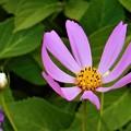 紫陽花(アジサイ)と気の早い秋桜(コスモス)