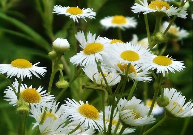 カマキリ幼虫のいる花風景@ハルジオン