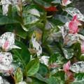 Photos: 斑入りの観葉植物@ハツユキカズラ