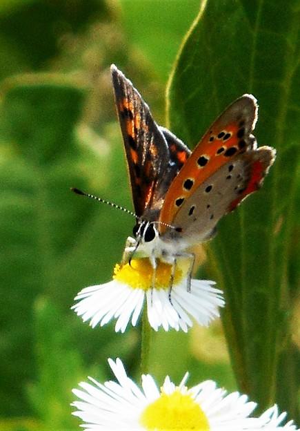 梅雨の晴れ間の ベニシジミ蝶