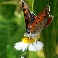 Photos: 梅雨の晴れ間の ベニシジミ蝶