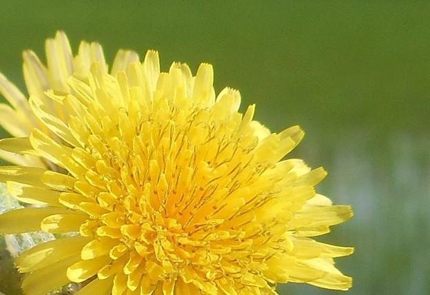 田んぼの周辺に咲く@タンポポの花