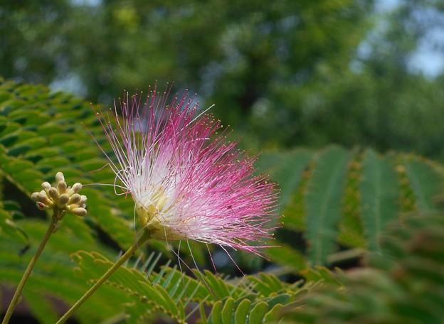 6月の ネムノキの花と蕾(ツボミ)@新高山