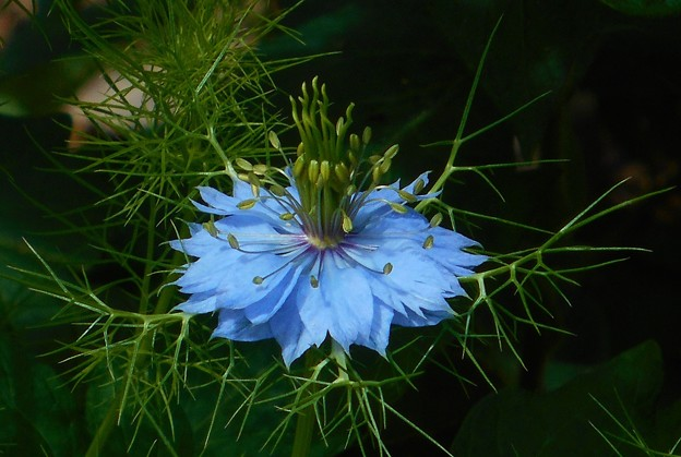ニゲラの青い花@瑠璃山