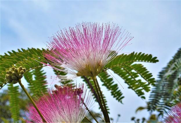 青空に咲く ネムノキの花と蕾(ツボミ)@新高山