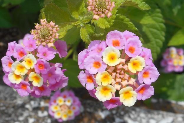 花壇に ランタナ咲く@6月の新高山