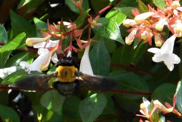 アベリアの花にクマンバチ