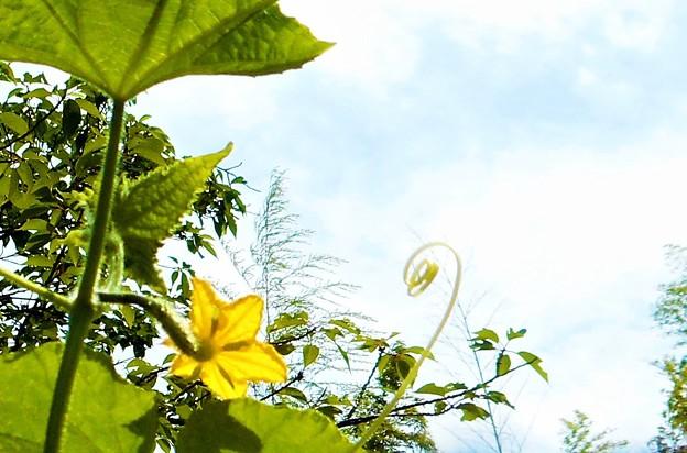 青空と胡瓜(キュウリ)の花と蔓(ツル)@瑠璃山周辺