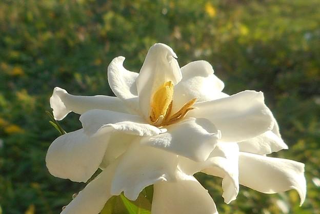 梔子(クチナシ)の白い花