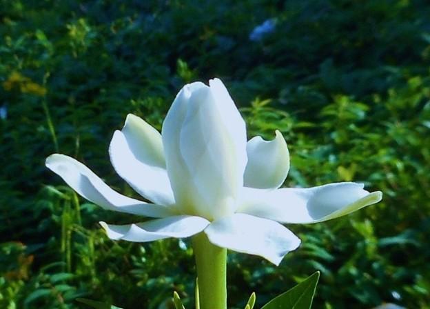 梔子(クチナシ)の花@備後路