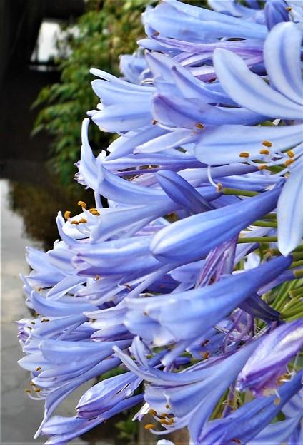 爽やか アガパンサスの青い花