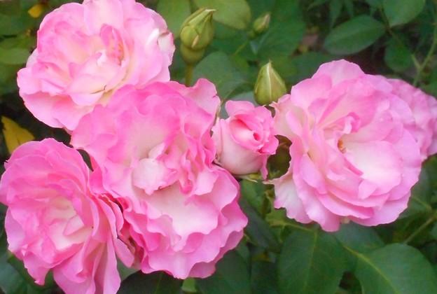 梅雨に咲く薔薇の花