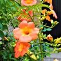 ノウゼンカズラの咲く庭にて