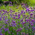 アレチノハナガサの咲く草原