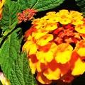 Photos: 夏の花ランタナ