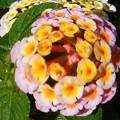Photos: 夏のランタナの花