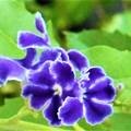 梅雨明けに咲くデュランタの花(2)