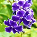 梅雨明けに咲くデュランタの花(1)