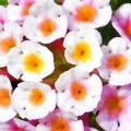 カラフルなランタナの小花たち