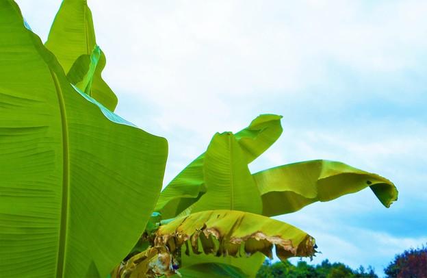 見上げれば ユッサユッサと風に揺れるバナナの葉@梅雨も明けた高原の空