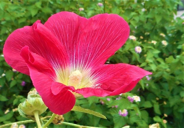 Photos: タチアオイの紅い花とランタナ@びんご運動公園