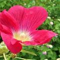 タチアオイの紅い花とランタナ@びんご運動公園