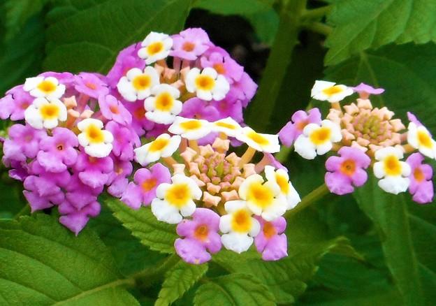 高原に咲く ランタナの花
