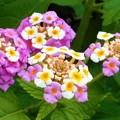 Photos: 高原に咲く ランタナの花