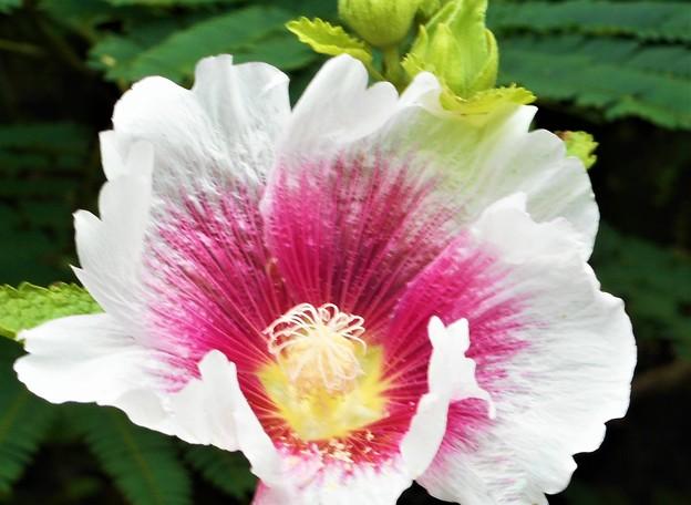 高原に咲く タチアオイの花(1)