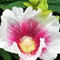 Photos: 高原に咲く タチアオイの花(1)